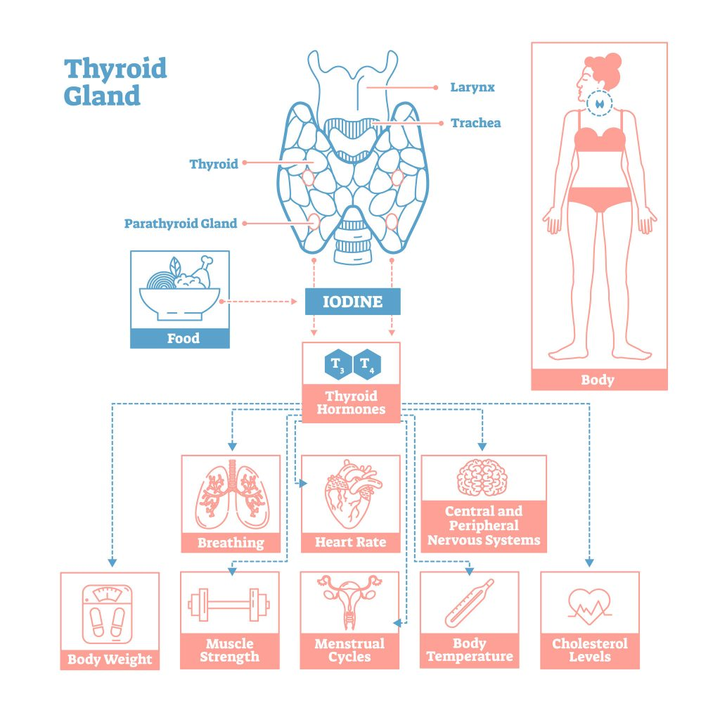 Connection Between Your Thyroid and Weight